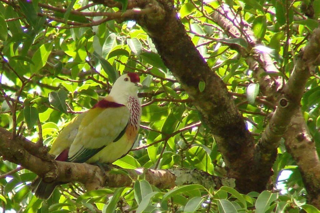 Manuma Multi-Color Dove